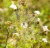 The spider sits on a wet web Royalty Free Stock Photo