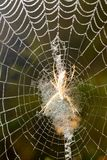 The spider sits on a wet web Stock Photo
