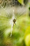 The spider sits on a wet web Stock Photography