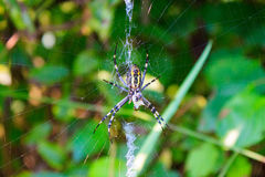 Spider sitting on a cobweb Royalty Free Stock Photography