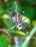 Spider sitting on a cobweb Royalty Free Stock Photos