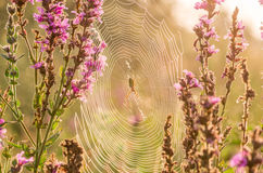 Spider sitting on a cobweb Royalty Free Stock Image