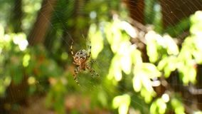 The spider is sitting on a cobweb. The web is poured into the sun. Stedikam shot is suitable for the background. stock video