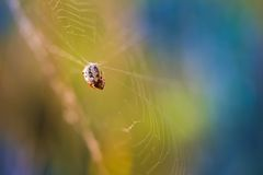 Spider sitting on his web Stock Photography
