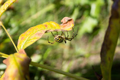 Spider sitting in its nest . Royalty Free Stock Image