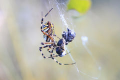 spider sitting in its web and eats its prey Royalty Free Stock Photos