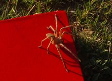 Spider sitting on my book. bookworm. Beautiful Spider sitting on my red book. Bookworm, Halloween concept royalty free stock images