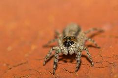 Spider Royalty Free Stock Photo