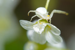 Spider sitting on a small white flower Royalty Free Stock Photography