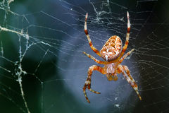 Spider is sitting on a spider web Royalty Free Stock Image