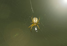 Spider sitting on the Web Royalty Free Stock Photos