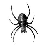 Spider. Sketch illustration of a spider  on white background Stock Photography