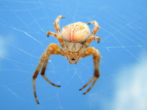Spider on the sky. A female of garden spider on its net Royalty Free Stock Photos