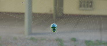 Spider sleeping at the center of its net. Colorful spider sleeping in its net. Arachnid resting on its web. Blue and green spider Stock Photography