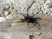 Spider on a sliver Stock Image