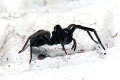 Spider, Small Black House, Badumna Longinqua Royalty Free Stock Images