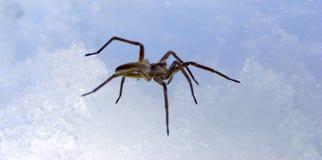 Spider on snow Stock Photo