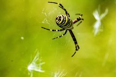 Spider Argiope on the hunt. The spider species Argiope aurantia is commonly known as the yellow garden spider Royalty Free Stock Images