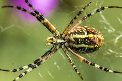 Spider Argiope on the hunt. The spider species Argiope aurantia is commonly known as the yellow garden spider Stock Photo