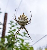 The spider species Argiope aurantia is commonly known as the yellow garden spider, writing spider, corn spider Stock Images