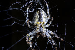Spider and spider`s web on black background. Arachnid climbing the web. Extreme close up macro image. Stock Photography