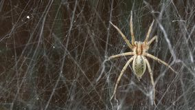 Spider and Spider`s Web Sway In the Wind. Beautiful arachnid in the garden swinging in the wind.n stock video footage