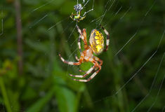 Spider on spider-web 19 Royalty Free Stock Image