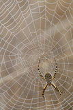 Spider and Spider Web. Having completed its web which covered by morning dew, a spider awaits its prey stock image