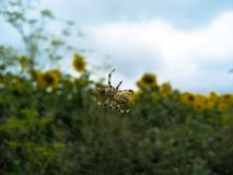 Spider on the spider web and sunflower field stock photography