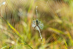 Spider on a spider web. Spider caught in a cobweb close-up on the green background Royalty Free Stock Photos