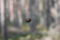 Spider on a spider web Royalty Free Stock Photo