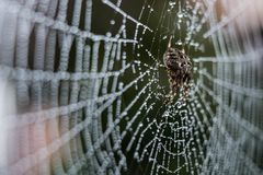A spider with spider web full of dew drops Royalty Free Stock Photography