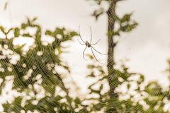 Spider on a spider web Stock Image