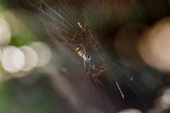 Spider on a spider web with a natural background. Stock Image