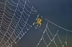 Spider on spider web. Photo of spider on spider web with water drops Royalty Free Stock Photos