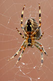 Spider on spider web after rain Stock Image