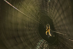 Spider on spider web after rain Royalty Free Stock Photos