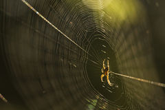 Spider on spider web after rain Stock Photography