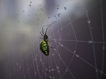 Spider on spider web after rain Stock Images