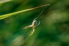 Spider on a spider web. On a blurred background of a green grass close-up Royalty Free Stock Images