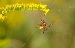 Spider on a spider web Stock Photography