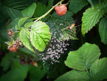 Spider and spiderlings Royalty Free Stock Photos