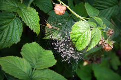 Spider and spiderlings Stock Images