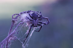 Spider. S Latin Araneae, Aranei, ancient Greek ἀράχνη.. - A detachment of arthropods, the second most well-known representatives of the class of arachnids Stock Photos