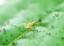 Spider. S are looking for their prey on the leaves Royalty Free Stock Photography