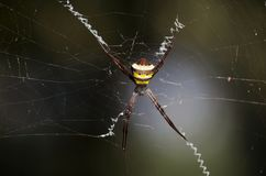 Spider with spiderweb. Royalty Free Stock Images