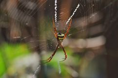 Spider with spiderweb. Spider within its spiderweb closeup view Stock Photos