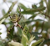 Spider on spiderweb with prey. At sun summer day. Argiope bruennichi or wasp spider Royalty Free Stock Photo