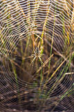 Spider on the spiderweb Royalty Free Stock Photos