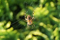 Spider in the spiderweb. Waiting for a fat fly Royalty Free Stock Image